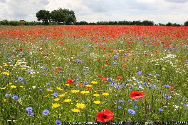 Wildflower meadow on bioretention soil